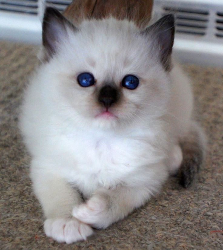 570 best Ragdolls images on Pinterest Kitty cats Animals and