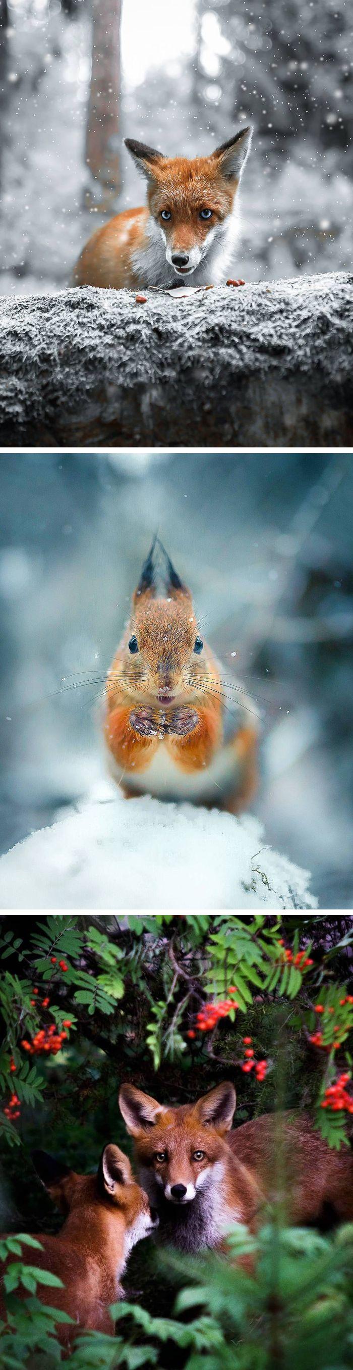 Joachim Munter captures intimate photos of Finland's fairytale forest animals in the wild. #photography #animalphotography #winterwonderland