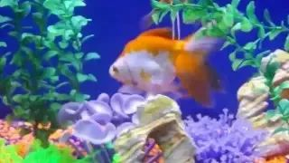 Fancy Goldfish n Panda Butterfly 'Crazy4Blood Orange flesh' Boheme fit - YouTube