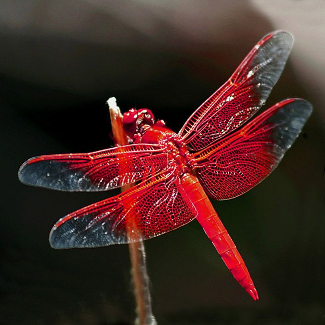 red dragonfly ~~ we get a ton of these every summer!  Beautiful!