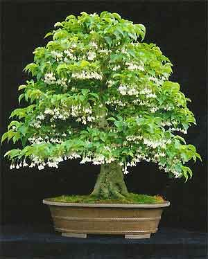 Styrax japonica - flower  Bonsai tree#Repin By:Pinterest++ for iPad#