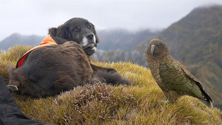 Ajax is a highly-trained border collie who helps locate New Zealand's endangered kea. Together with Corey, his human sidekick, Ajax searches for kea nests to help monitor the population of the elusive species. See more films from Loading Docs. The Short F