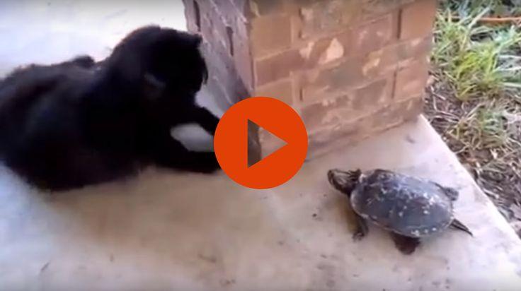 Cat and Turtle Play Hide and Seek #lol,  #meme  #Funny, #Cute , #Cat , #turtle