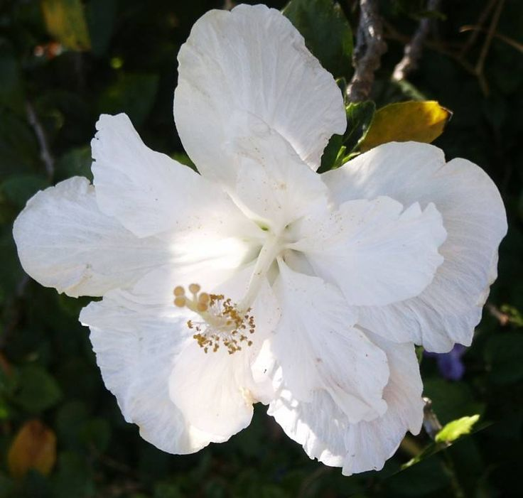 Summer- Double white hibiscus