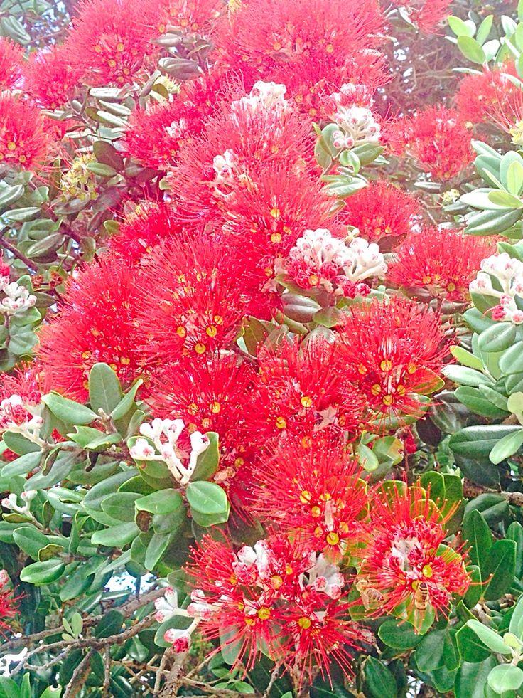 Pohutukawa in bloom, Waitangi Beach, Aotearoa, New Zealand #lovesummer