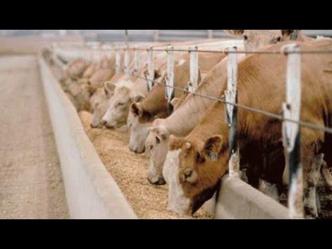Pakan Fermentasi SOC HCS Untuk Ternak Sapi