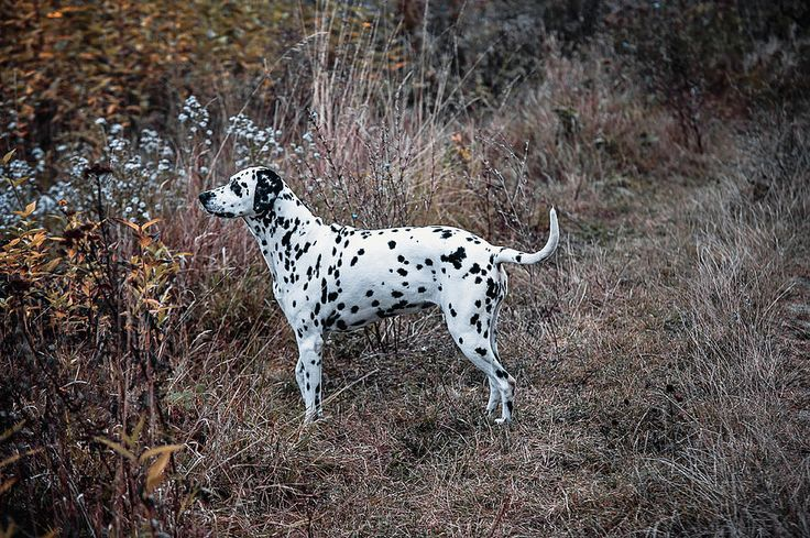 Dalmatian Dog In The Autumnal Grass by Jenny Rainbow