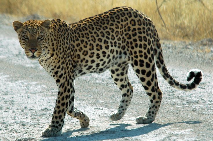 The leopard is not as large as the tiger, so he uses his agility to maneuver around opponents to find weaknesses.  Leopards use strategy to pick their spots on the opponent and attack with maximum efficiency.  Leopards use their speed to their advantage and can use multiple strikes in a very short span of time.  Leopards attack joints and soft tissue.