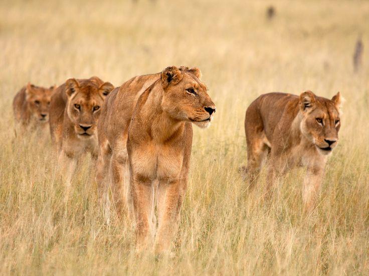 """Η φωτογραφία της ημέρας από την εκπομπή του #NatGeoWild """"Blood Rivals: Lion vs. Buffalo! // Moremi Game Reserve, Botswana: Lioness and juvenile watching buffalo herd.  #picoftheday #NatGeoChannelGR #NGC"""