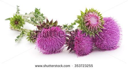 Flowering thistles isolated on a white background. - stock photo