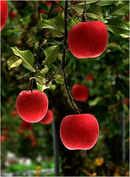 redSecret Gardens, Apples Orchards, Snowwhite, Colors, Red Apples, Trees, Cherries, Forbidden Fruit, Snow White