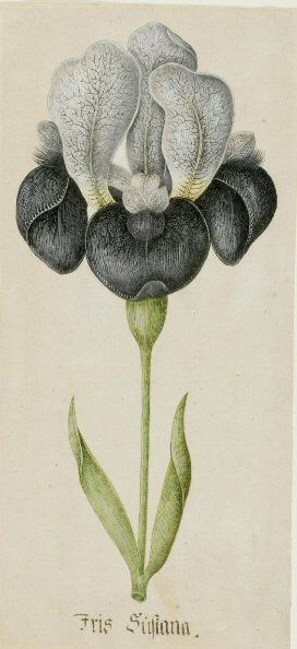 Iris susiana, German School, ca.1700. Watercolour with gum arabic on paper