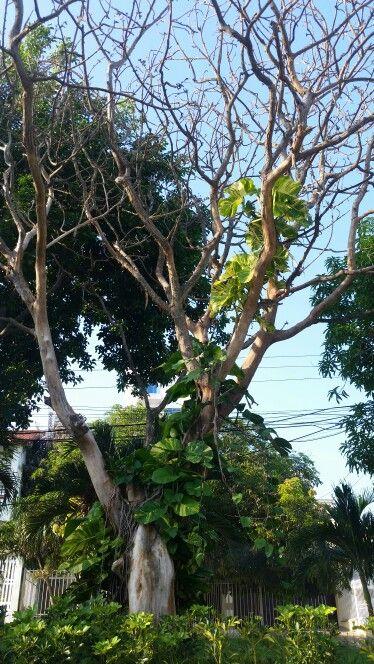 Arboles de mi Barranquilla