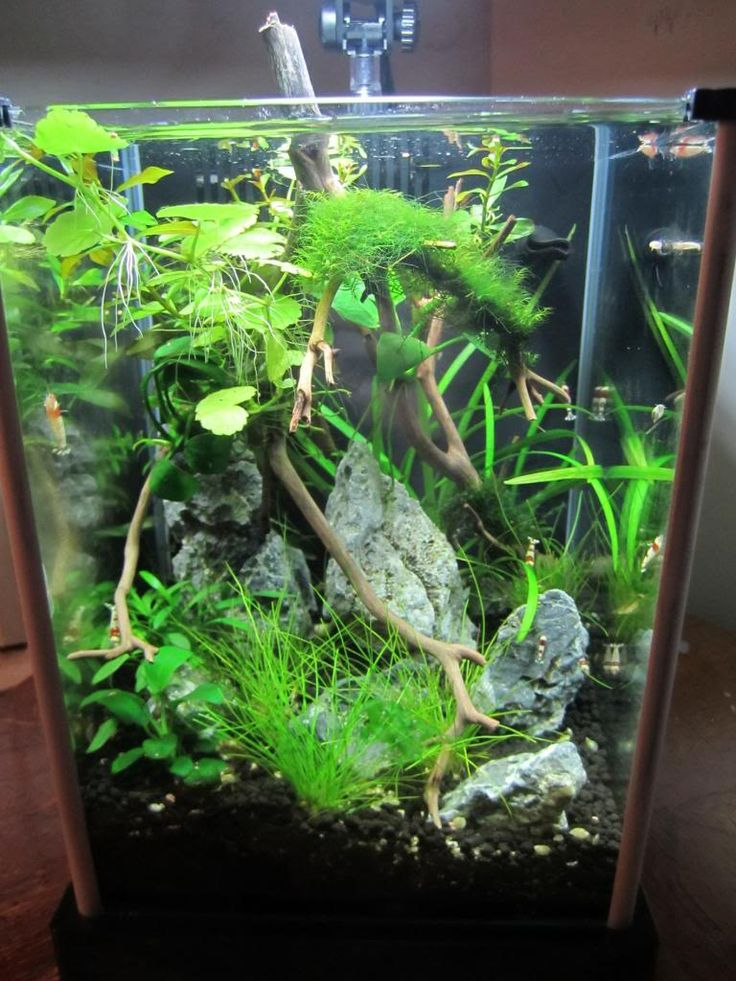 2g shrimp tank fluval spec aquaria inspiration for Shrimp fish tank