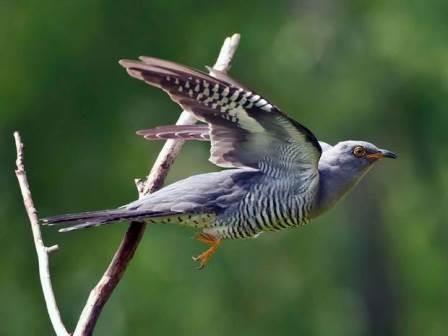cuckoo flying