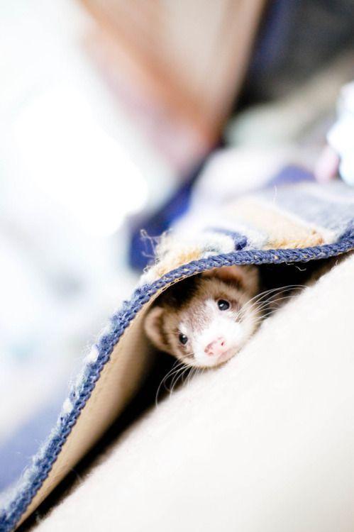 Hide and go seek.: The Faces, Ferrets Plays, Baby Ferrets, Ferrets Hiding, Awwwww Pics, Carpets Sharks, Pet Ferrets, Peekaboo, Adorable Animal