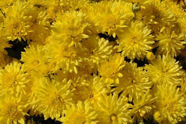Extravaganza Mermaid Yellow Chrysanthemum multiflora
