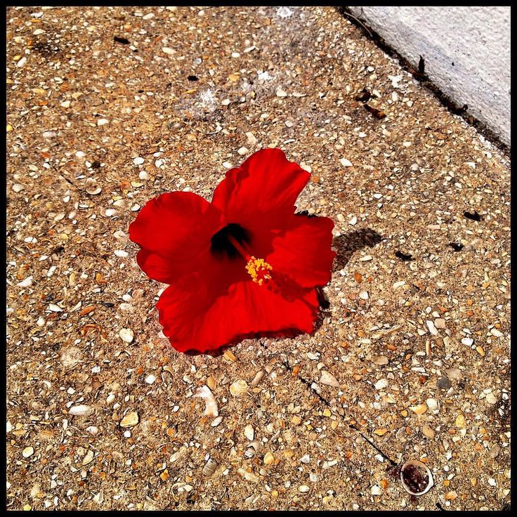 Fallen beauty   #travel #florida #hibiscus