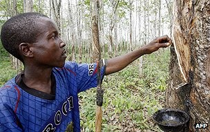 collecting latex from rubber tree in Liberia