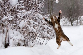 .: Cats, Animals, Winter, Pet, Funny, Catch, Snowball Fight, Photo, Kitty