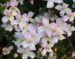 Clematis montana var. rubens 'Pink Perfection' Screening of rear fence