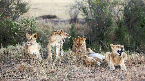 Lions - Masai Mara NP - Kenya