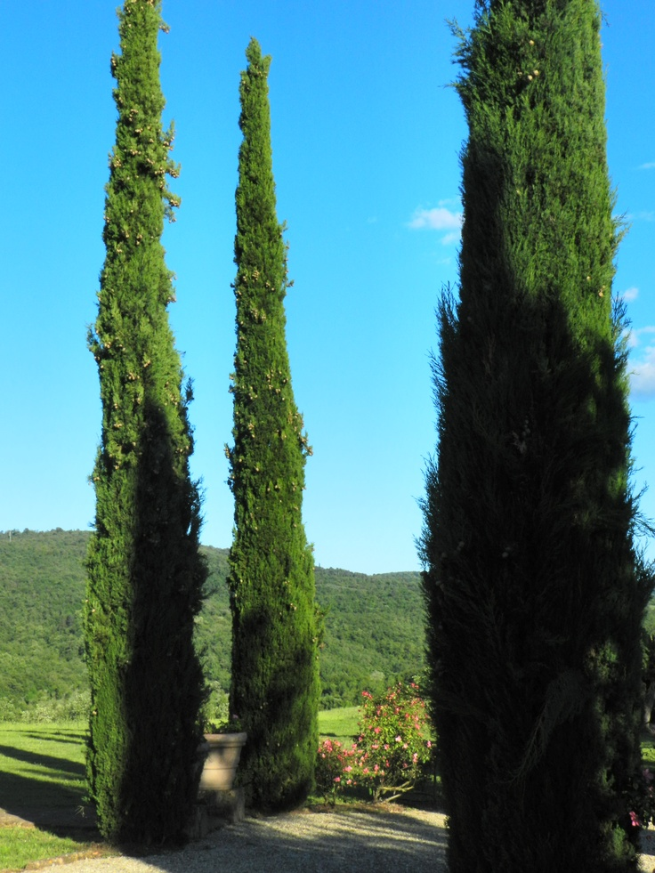Noble group of cypress trees at the entrance of Villa Felciai at La Selva Vacation villas in southern Chianti, Tuscany.
