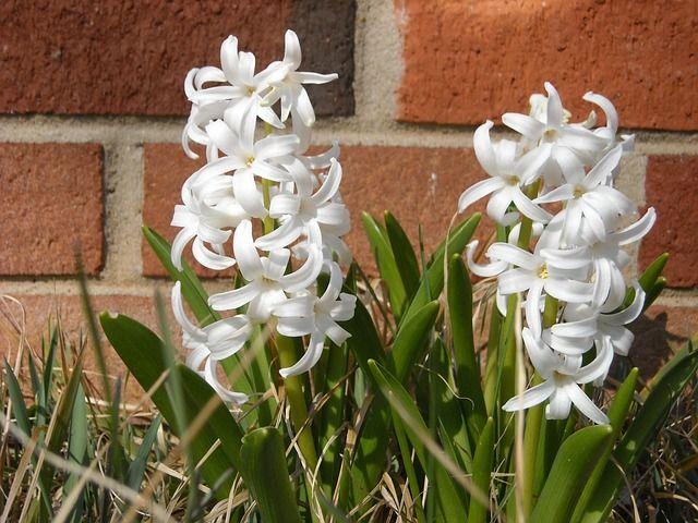 Jacinto: los cuidados del jacinto la planta que crece en primavera y en invierno. #planta #invierno #jacinto • Plantas & Semillas