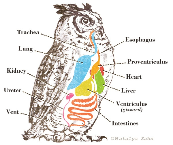 digestive system of birds The digestive system of birds is complex if compared with the size of the birds birds have very efficient metabolism and can eat nearly 20% of its body weight birds have a very strong beak, which is modified and adapted to the type of diet they consume.