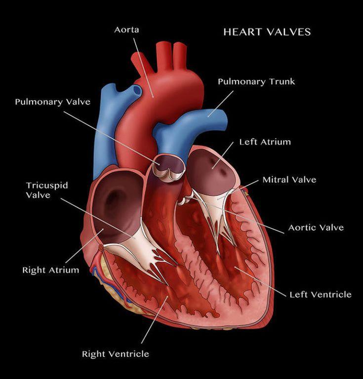 #vhd: Heart Valve Assessment | Heart valves, Heart valves ...