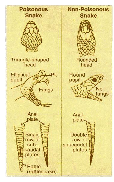 Identificar serpientes venenosas