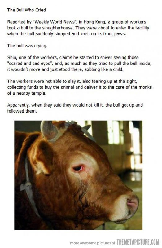 The Bull Who Cried… if only people realized that every animal should not be taken to saluter houses, and they they shouldn't' have to cry to convince them