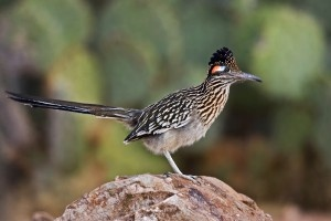 New Mexico State Bird: Greater Roadrunner