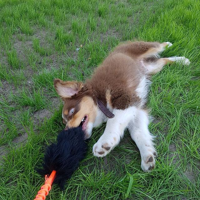 The owner didn't think her dog loved play as much. A bungee sheep helpt to get the play out! @tugenuff #thedogcompany #webshop #australianshepherd #play #dogtraining #dogsofinstagram