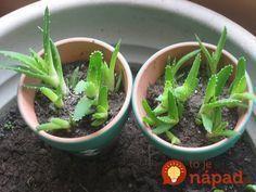 Pestujete Aloe Vera? Toto musíte urobiť, aby bola aj vaša rastlina liečivá!