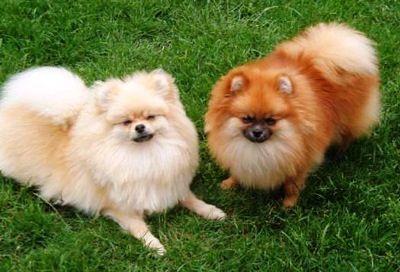 Best+Dog+Breeds+for+Elderly+People