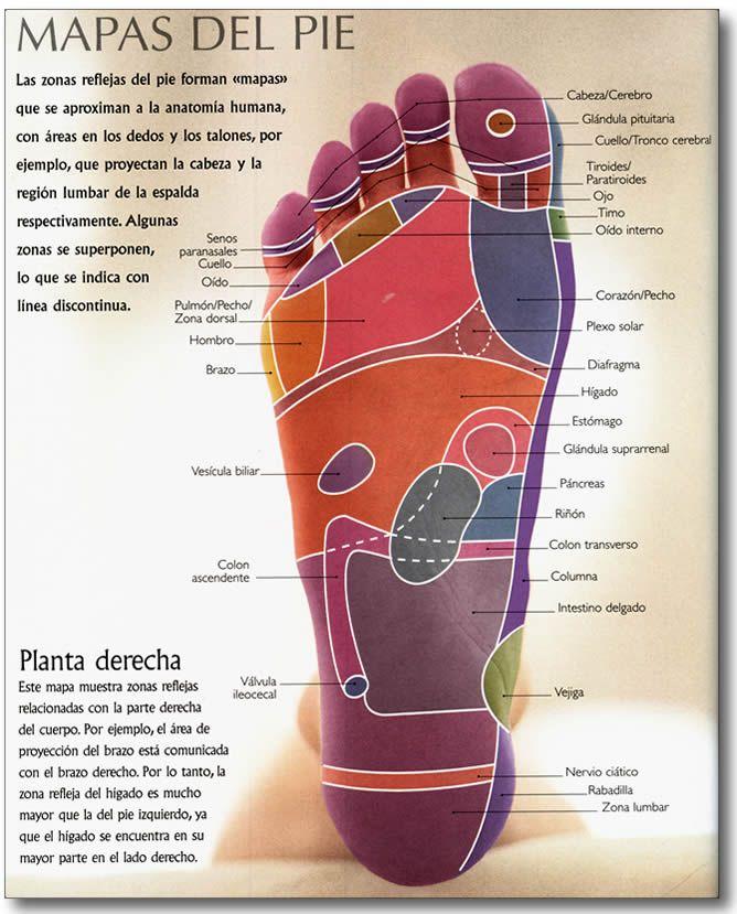 Reflexologia : Mapa de la Planta Derecha