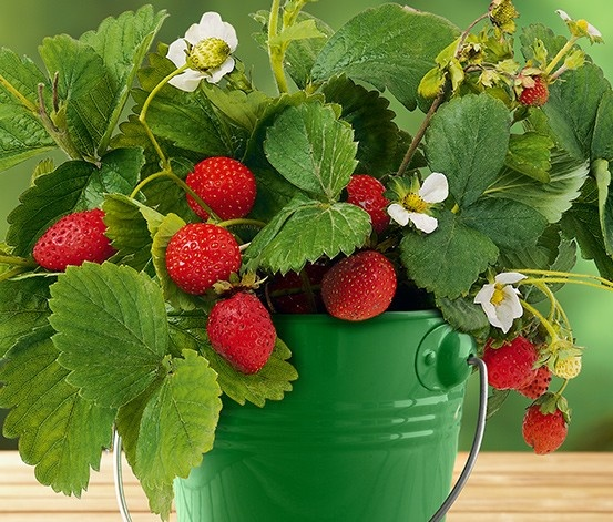 Vintage Besser k nnen Erdbeeren gar nicht schmecken als aus dem eigenen Garten oder vom