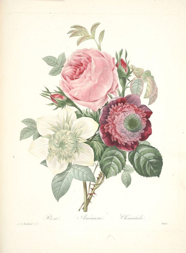 gravures de fleurs par Redoute - Gravures de fleurs par Redoute 167 rose anemone et clematide - Gravures, illustrations, dessins, images