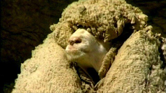 BBC News - New Zealand mourns Shrek the sheep