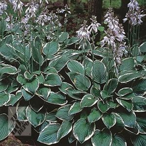 hosta francee sun ok - front yard flower bed idea!