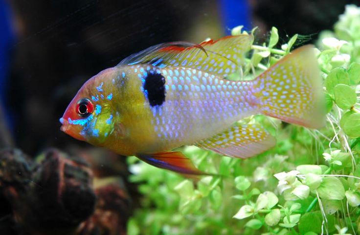 pesci tropicali acqua dolce colorati - Cerca con Google