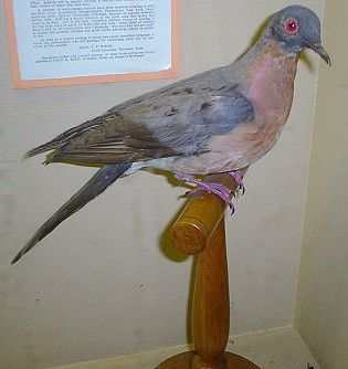 PASSENGER PIGEON. A few Passenger pigeons remained in captivity after 1900. The very last one was a female named Martha who died at Cincinnati Zoo at about 1:00 pm on September 1, 1914.
