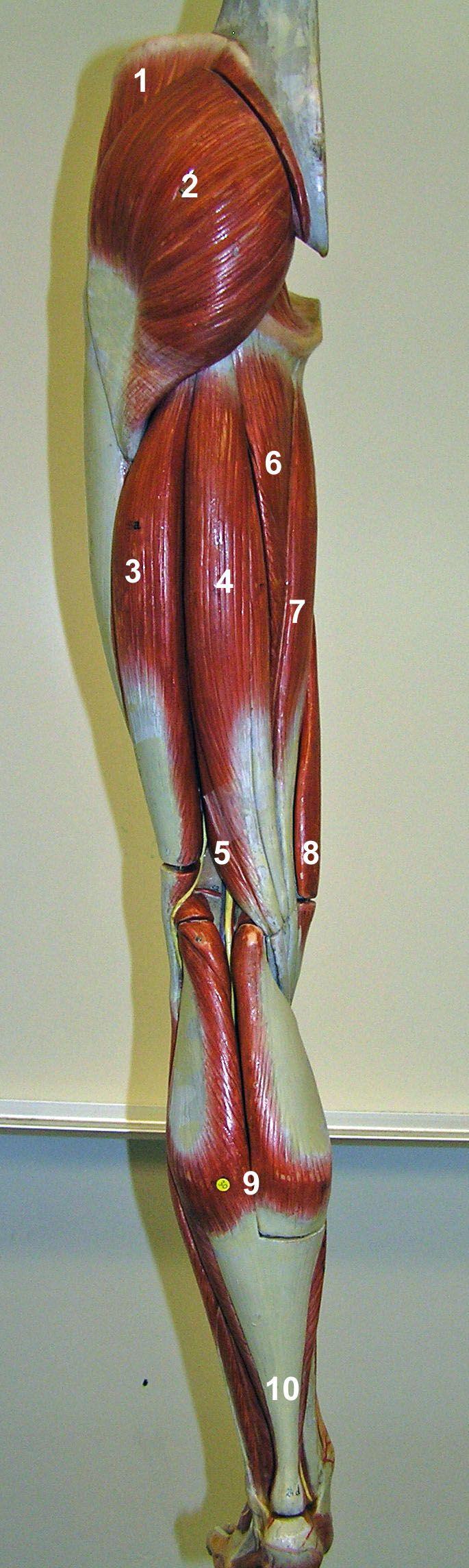 2 - Gluteus maximus 3 - Biceps femoris 4 - Semitendinosus 5 - Semimembranosus 6 - Adductor magnus 7 - Gracilis 8 - Sartorius 9 - Gastrocnemius (soleus is deep) 10 - Achilles (calcaneal) tendon