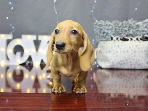 This Will Be My Next Dog Miniature Long Haired Dapple Dachshunds