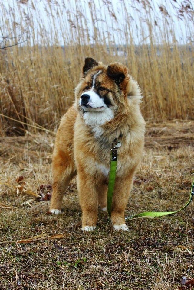 Bernese Mountain Dog Chow Chow Mix Puppies Dogs Dog Mixes