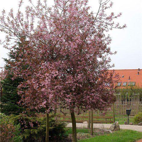 Blodhägg 100-120 cm - Prydnadsträd - Växter - Bygghemma.se