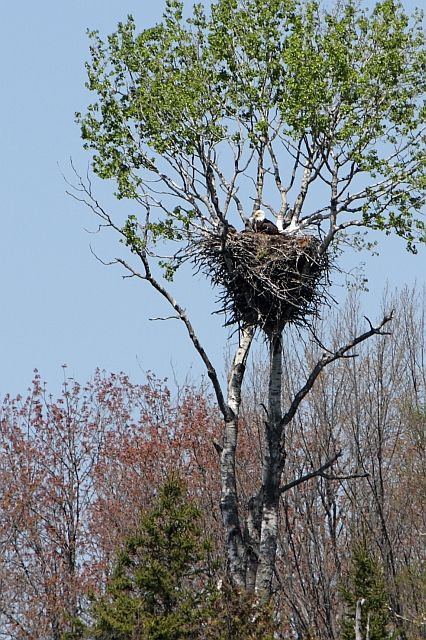 Lake Millecoquin, Michigan  (Eagle's Nest)  These huge nests can be up to 8 feet across and older ones may be up to 20 feet from top to bottom and weigh as much as 3 tons!