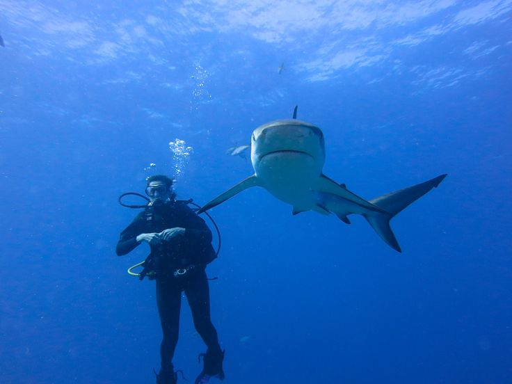 Explore The Beauty Of Caribbean: 17 Best Images About Caribbean Blacktip Shark On Pinterest