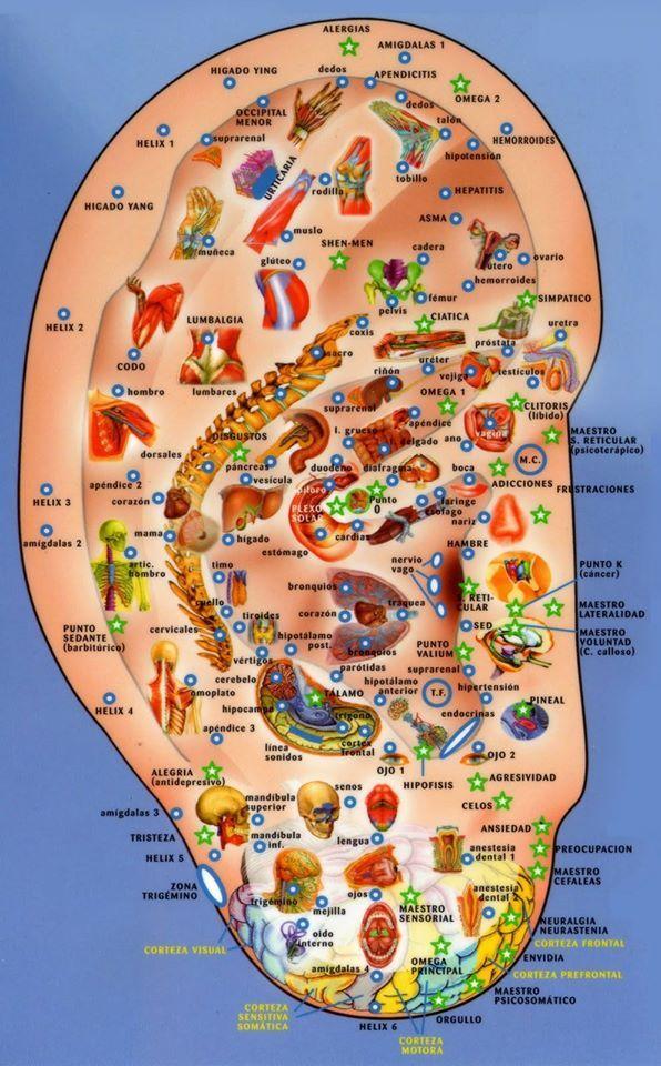 Puntos de #Acupuntura de la #oreja.  #Salud #Salut #Medicina